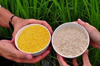 Resultado de imagem para golden rice