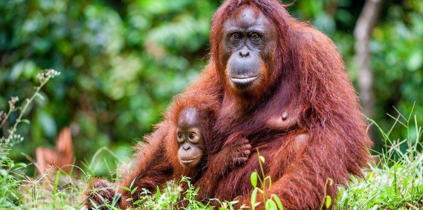 orangutan_hero